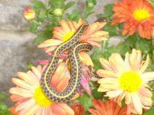 Snake on the Daisy