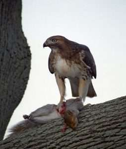 Hawk And The Squirrel