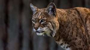 Rabid Bobcat Attacks Golfer