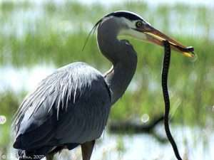 Great Blue Heron Wins Battle With Cottonmouth Water Moccasin