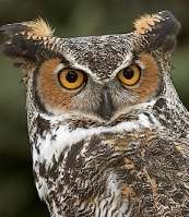 Great Horned Owl Had Mites