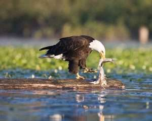 Eagle And Carp – Nature's Rule!