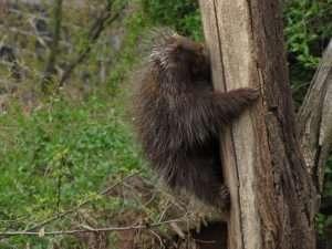 Porcupine Hazard