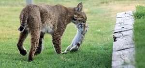 Bobcat Dinner