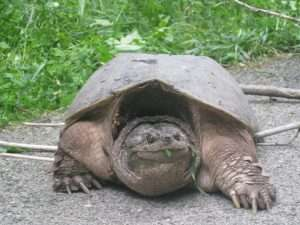 Snapping Turtles Fighting For Breading Rights – NO VIAGRA NEEDED!