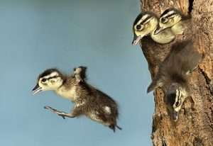Read more about the article Stoned Wood Ducks