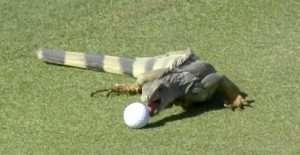 Iguana Eats Golf Ball On Trump Golf Course