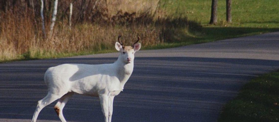 Albino Deer GolfTales RJSmiley