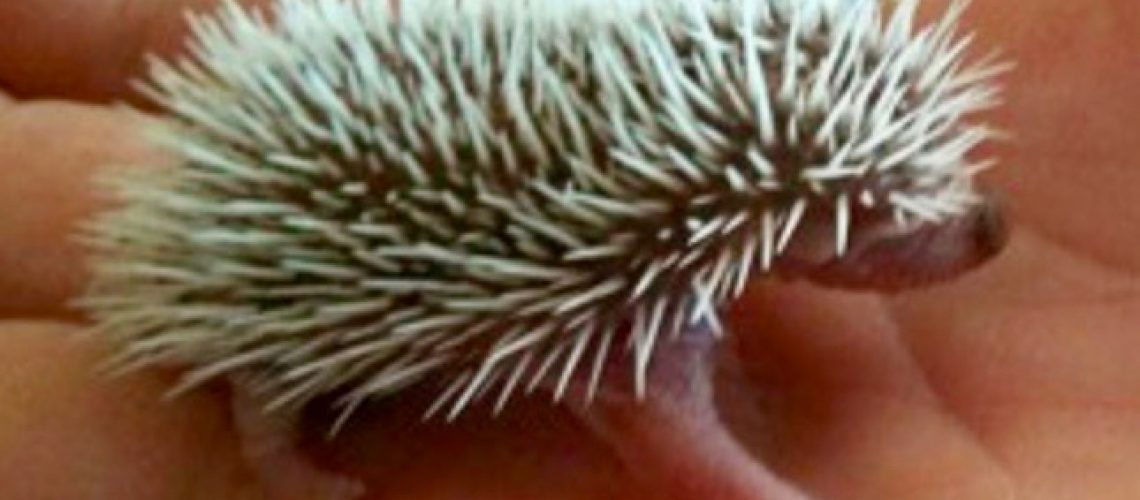 Baby Hedgehog copy