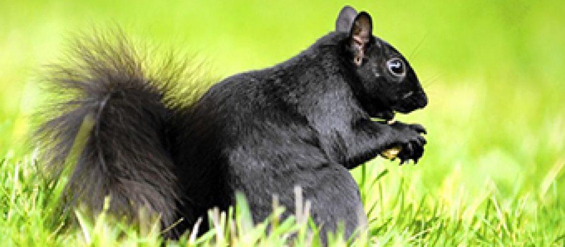 Black-Squirrel GolfTales RJSmiley