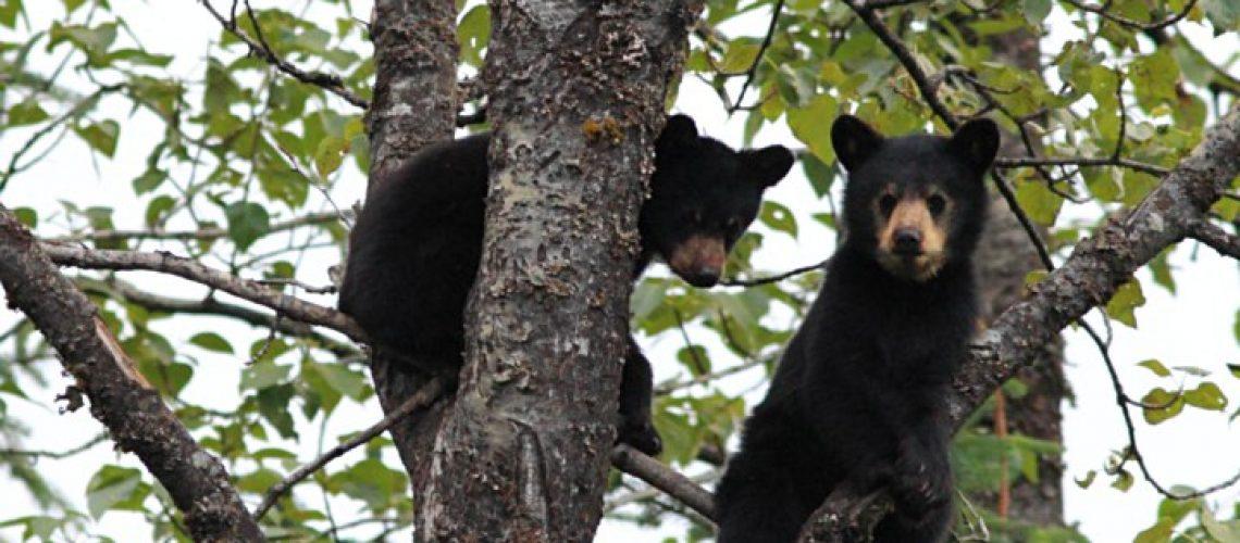 Black bear cubs GolfTales RJSmiley