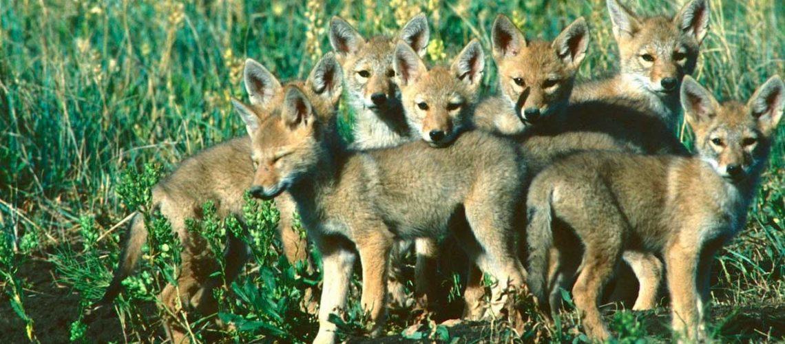 Coyote-pups GolfTales RJSmiley