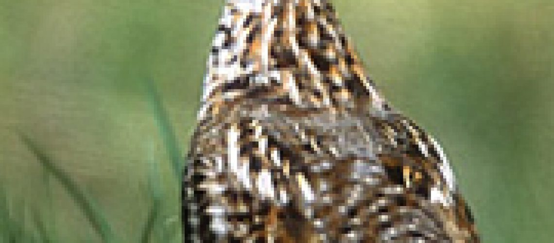 Baby birds season is upon us.  Enjoy this story of a very protective mouther Grouse.