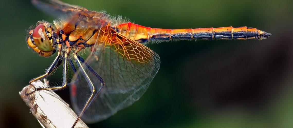 Dragonfly GolfTales RJSmiley