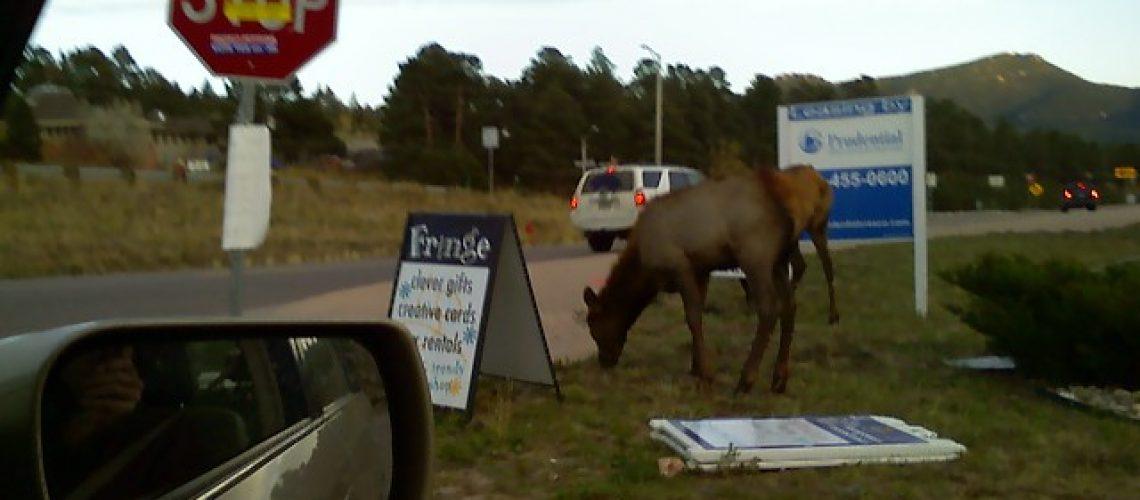 Elk in Evergreen GolfTales RJSmiley
