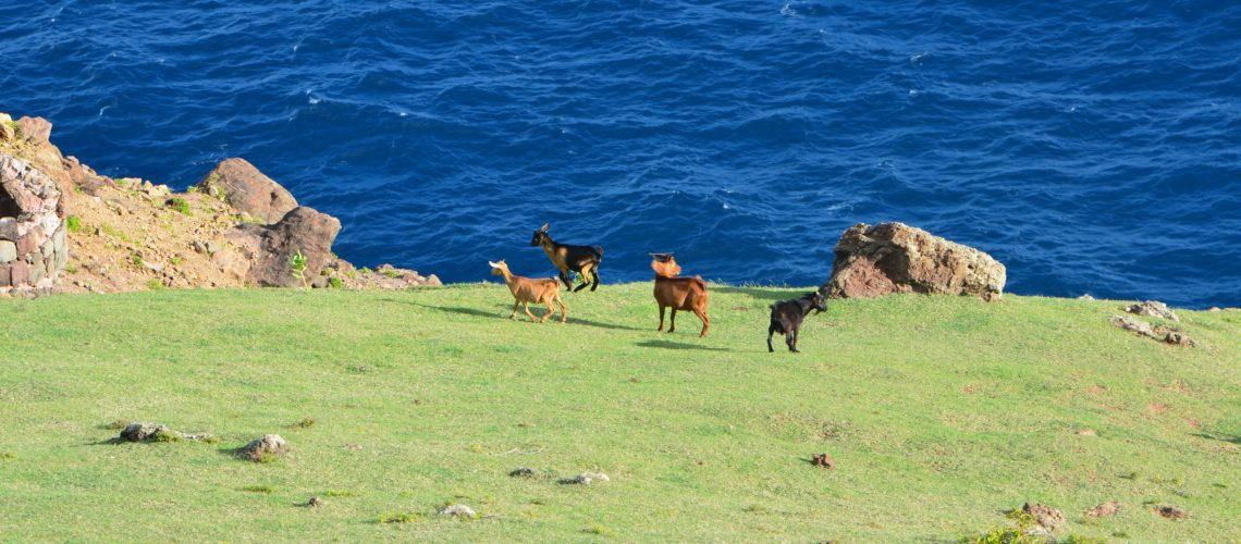 Goats on Saba GolfTales RJSmiley