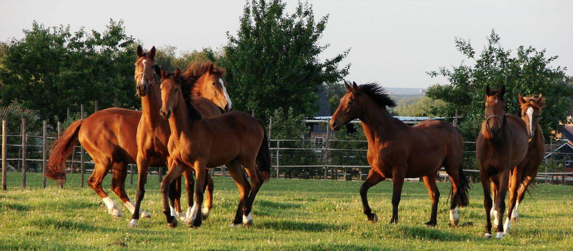 Horses running GolfTales RJSmiley