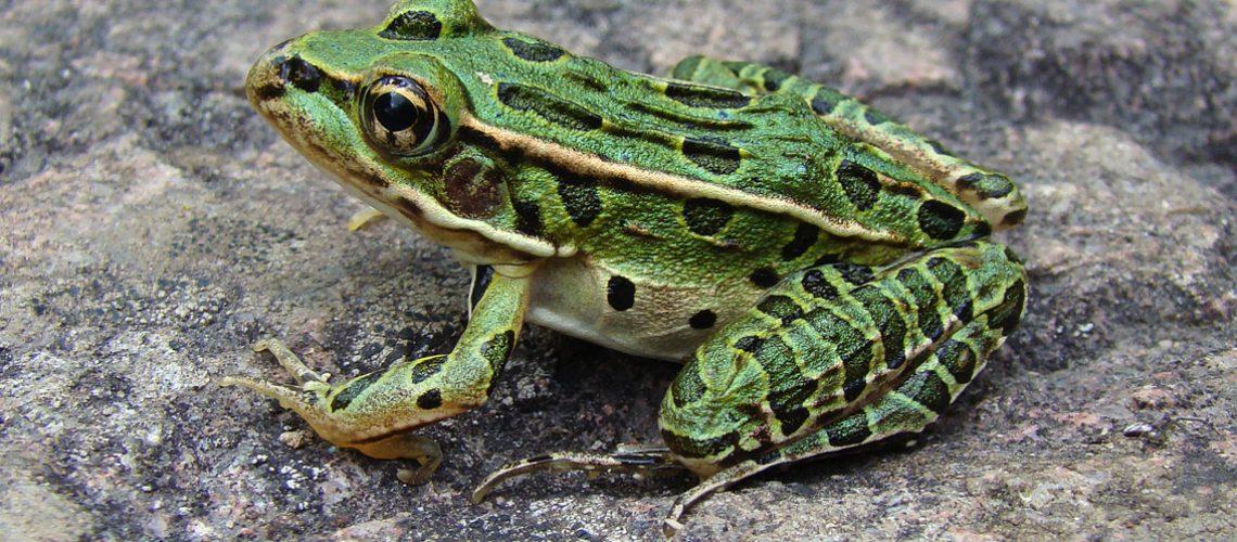Leopard Frog GolfTales RJSmiley