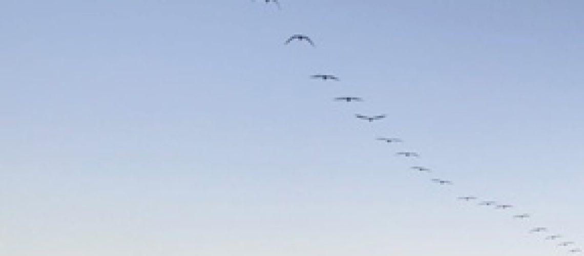Pelican-flyover-1