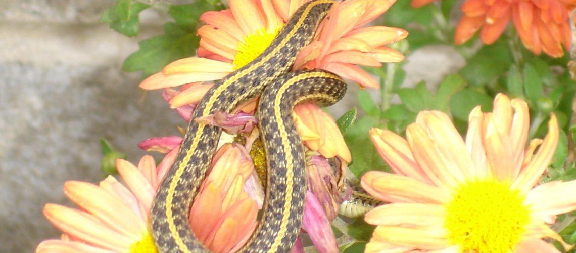 Snake & Daisy 3 GolfTales RJSmileu