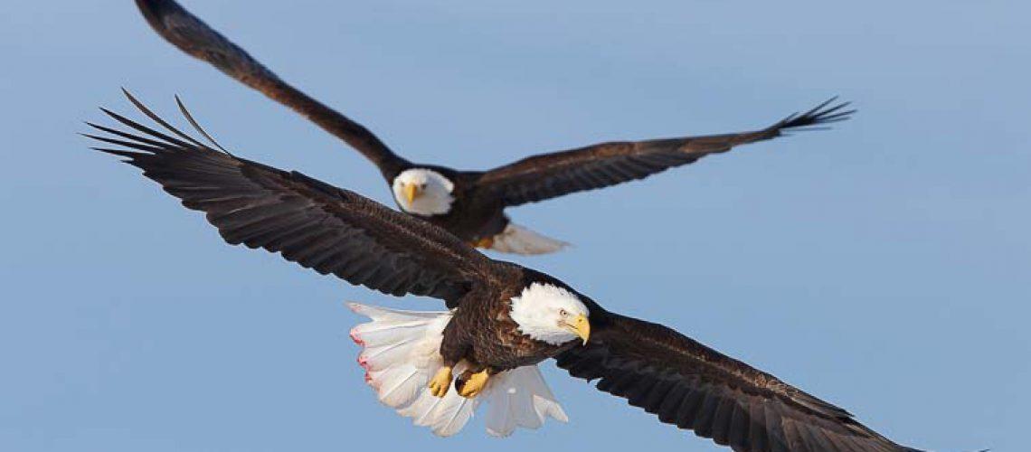 Two bald eagles in flight, wings spread, soaring, aloft.