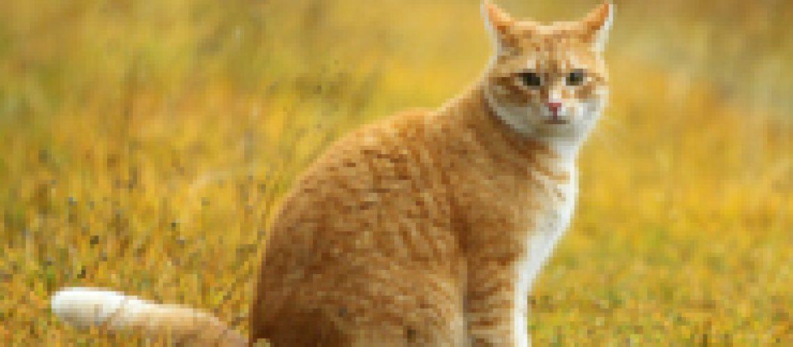 Yellow-Tom-Cat
