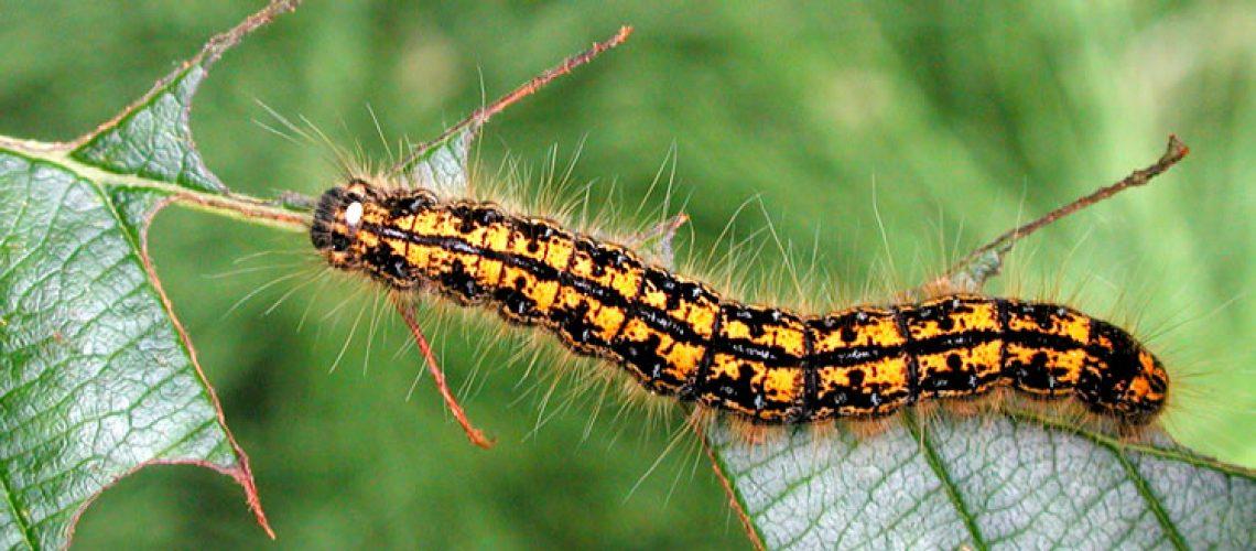 tent caterpillar 2 GolfTales RJSmiley